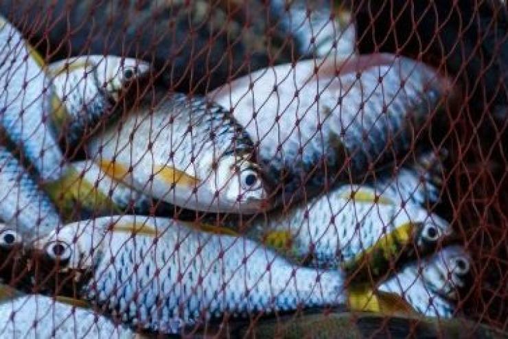 Giá cá thịt trắng H&G có thể bị ảnh hưởng do các nhà máy chế biến Trung Quốc chưa hoạt động trở lại