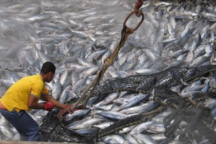Giá cá ngừ vằn tại Seychelles vẫn ổn định