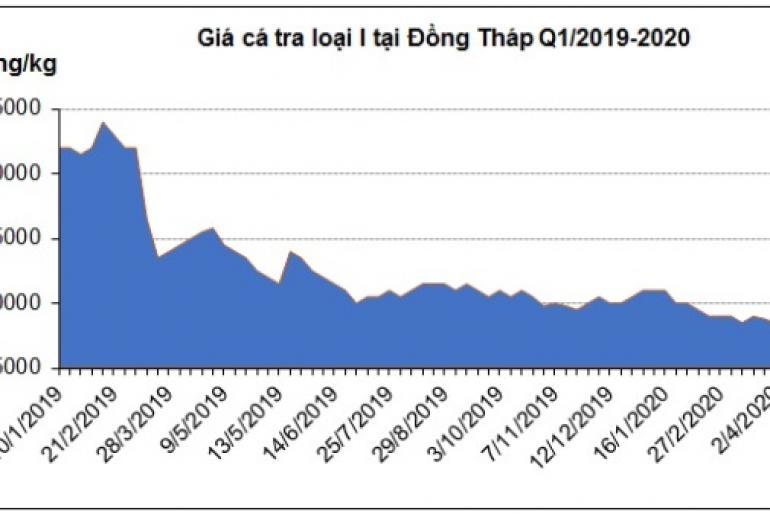 Chờ tín hiệu từ thị trường, giá cá tra nguyên liệu tiếp tục ổn định